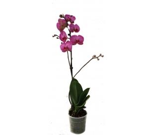 planta-phalaenopsis-1-vara-catesa-1-un